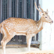Stock Photo: Spotted deer or Axis deer in zoo.