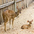 Stock Photo: Mother and baby. Chital, Cheetal, Spotted deer or Axis deer