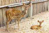 Deer Mother and baby in zoo — Stock Photo