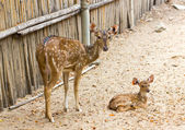 Mother and baby. Chital, Cheetal, Spotted deer or Axis deer — Stock Photo
