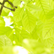 Green leaves. — Stock Photo #32590005