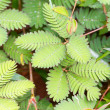 Mimosa pudica — Stock Photo