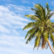 Coconut tree in front of cloudy sky — Stock Photo
