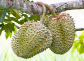Raw Durian Fruit on Tree Stalk. — Stock Photo