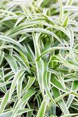 Bichetii Grass — Stock Photo
