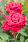 Red rose with water drops. — Stockfoto