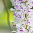Stock Photo: Rhynchostylis gigantea.