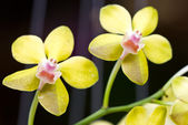 Yellow orchid. — Stock Photo