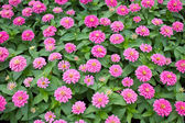 Blossom Pink Zinnia. — Stock Photo