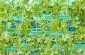 Green Oak Planting. — Stock Photo