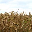 Stock Photo: A grain field