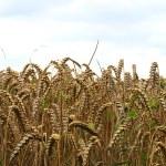 A grain field — Stock Photo #12128512