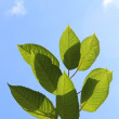 Green leaves in the sky — Stock Photo