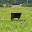 Stock Photo: Black cow