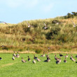 Flying geese in a pasture — Stock Photo