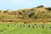 飞鹅在牧场 — 图库照片