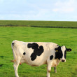 Cows on the meadow — Stock Photo #12903238