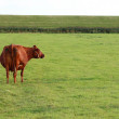 Cows on the meadow — Stock Photo #12903601