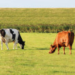Cows on the meadow — Stock Photo #12904471