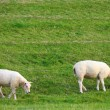 Sheep on the meadow — Stock Photo