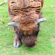 A Bison — Stock Photo #13311115