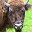 Stock Photo: A Bison