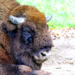 A Bison — Stock Photo