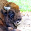 A Bison — Stock Photo #13313047