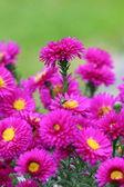 Vackra blommor blomma — Stockfoto