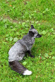 Silver fox — Foto Stock
