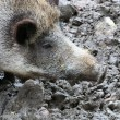Stock Photo: One boar
