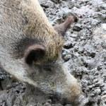 One boar — Stock Photo
