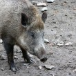 One boar — Stock Photo