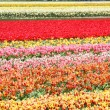 Stock Photo: Flowers from Holland Koikenhof