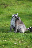 Lemur with baby — Stockfoto