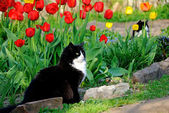 The cat sits among colorful tulips — Стоковое фото
