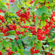 Foto Stock: Ripe berries on branch