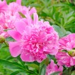 Stock Photo: Pink peonies in the garden