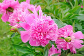 Pink peonies in the garden — Stock Photo
