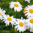 chamomile flowers&quot — Stock Photo