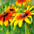 Flowers rudbeckia — Stock Photo #44990143
