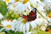 The butterfly on  flower — Stock Photo