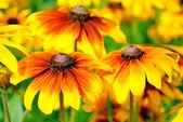 Rudbeckia flor — Foto de Stock