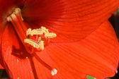 Red Amarilla IMG_1754 — Stock Photo