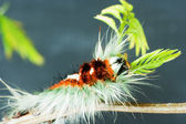 Hairy Caterpillar 1815 — Stock Photo
