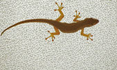Cape Dwarf Gecko (Lygodactylus capensis) — Stock Photo