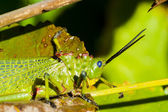 Green Milkwood Locust — Stock Photo