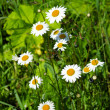 Field camomiles - Stock Photo