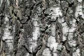 Birch tree schors textuur achtergrond — Stockfoto