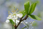 Dehiscing on plum-tree flowers — Stock Photo